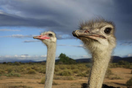 avestruz: avestruz, pareja, reloj femenina y masculina del medio ambiente, impresionante cielo en el fondo Foto de archivo