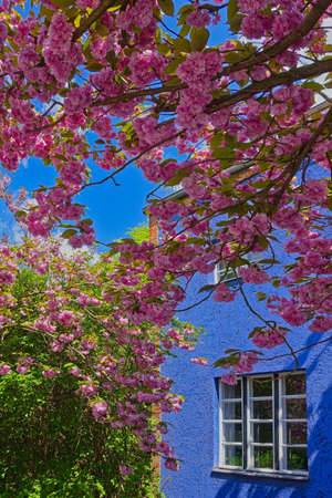 cherry blossom on a japanese cherry tree, located beneath a house in the horse shoue village from archtitect Bruno Taut in Berlin that became world cultural heritage Stok Fotoğraf