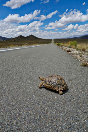 Turtle is crossing the road, landscape of South Africa with Swartberg mountains Stok Fotoğraf