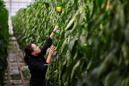 Business in modern greenhouses. The worker collects a crop of bell pepper. A young woman reaches for a vegetable.