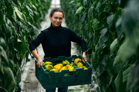 Harvesting in modern greenhouses. The young woman stands between the beds of plants with a box of bell peppers in her hands.