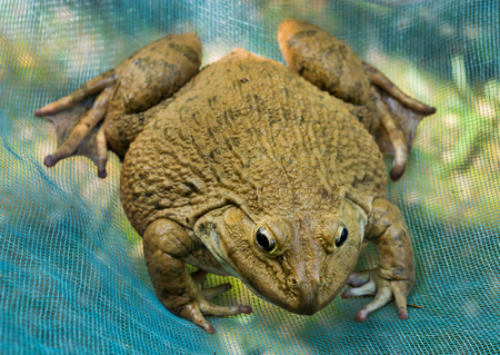 A big frog on nature.A frog is any member of a diverse and largely carnivorous group of short-bodied, tailless amphibians composing the order Anura.Frogs typically lay their eggs in water. The eggs hatch into aquatic larvae called tadpoles that have tails and internal gills.