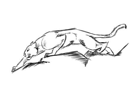 panthera: Young Cougar prepares to jump. Sketch.