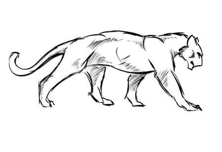 dessin au trait: Jeune couguar. chat sauvage. Vector croquis. Illustration
