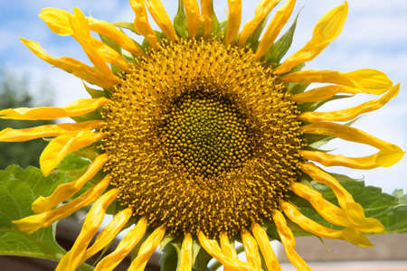 straggly: Sunflower