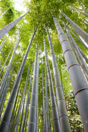 Looking up a bamboo grove in Kyoto Stock Photo - 4833502