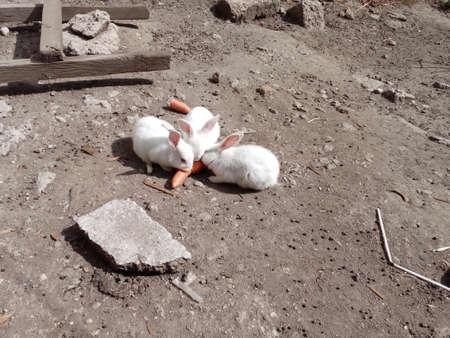 Rabbits eating carrot Stock Photo