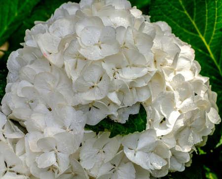 Hydrangea macrophylla, Hortensia white flowers