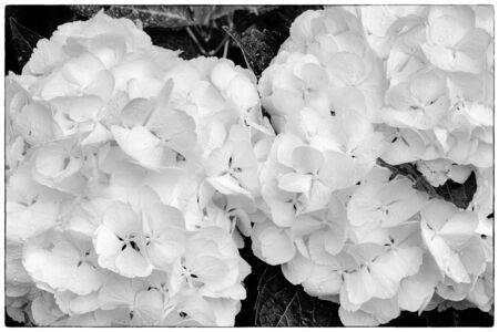 Hydrangea macrophylla, Two Hortensia white flowers. Black and white
