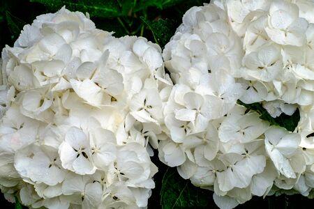 Hydrangea macrophylla, two Hortensia white flowers Reklamní fotografie