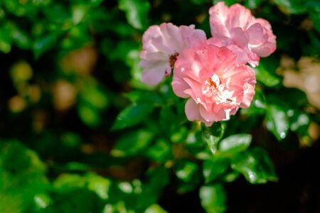 Wild rose, pink flowers