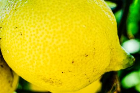 Lemon on a tree closeup. Amalfi coast symbol, Italy