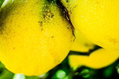 Lemons on a tree closeup. Amalfi coast symbol, Italy