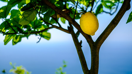 Lemon on a tree. Mediterranean sea and sky in background. Amalfi coast symbol, Italy Banque d'images