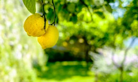 Lemons on a tree. Amalfi coast symbol, Italy