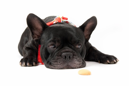 Laying french bulldog with biscuit