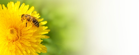 Honey bee collecting nectar from dandelion flower in the summer time
