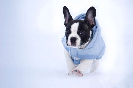 Small french bulldog is running in the snow