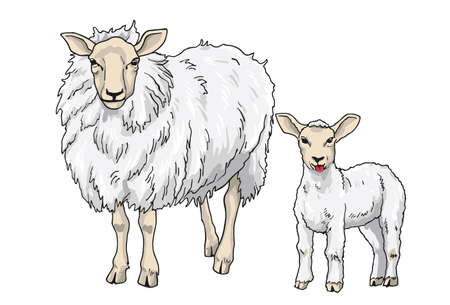 lamb: Sheep and Lamb, Vector Illustration on White Background