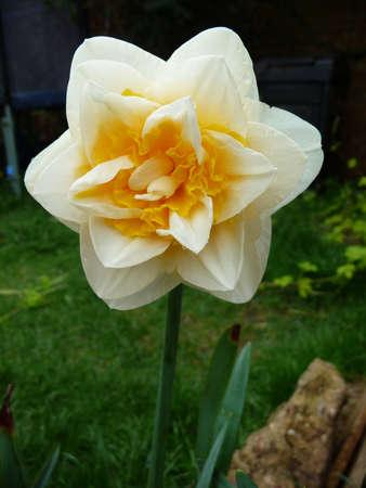 double headed: double headed daffodil