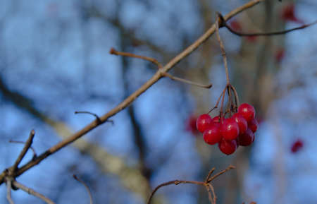 bear berry: Background blue,tree blooming with rowan berries in the fall,autumn background.