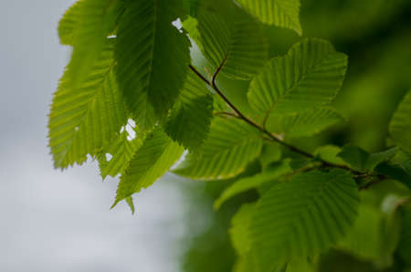 Natural green background,bokeh background,leaves green. Stock Photo