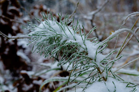 Winter background,flower covered with snow,Frozen plant photo