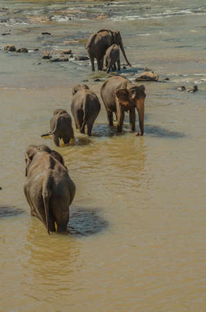 pozo de agua: Elefantes que se ba�an en el r�o, elefantes beber a la charca. Foto de archivo