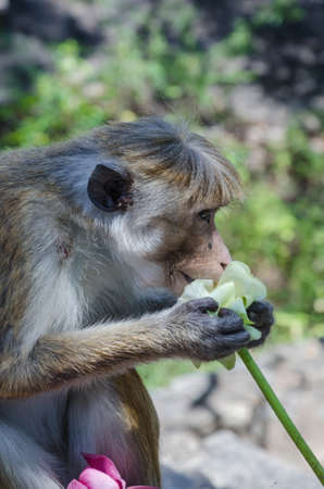 sylvanus: Monkey in the wild. Macaca Sylvanus, Barbary Macaque.Monkey in India, Sri Lanka and template.