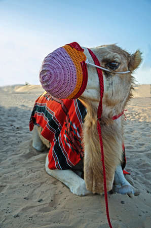 Camel sitting on a desert land.Head of a camel.