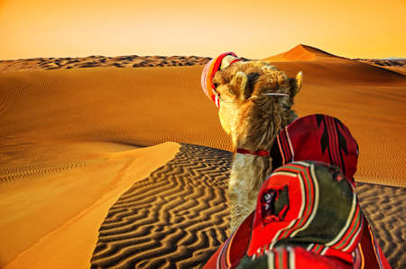 Camel in the desert.The journey through the desert at sunset. Stock Photo