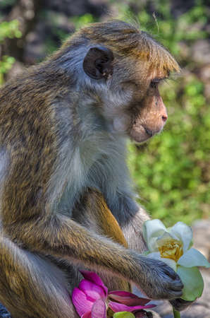 Golden temple in Dambulla monkey.Wild monkeys.Temples in Asia.Buddhist monument in Sri Lanka.Monkey holding a flower.Medieval capital of Ceylon. Stock Photo
