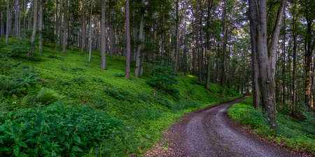 Forest Road. In the green forest. Forest path Gabrielka.