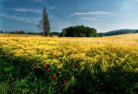 Ripening grain in the field..Grain on the field.Ripening barley