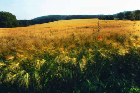 Ripening grain in the field.Grain on the field.
