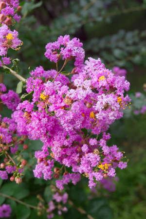 A crape myrtle flower