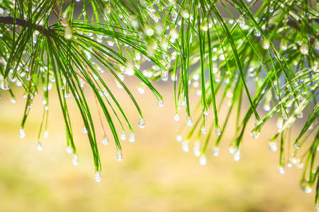 Water drops on pine needles 版權商用圖片