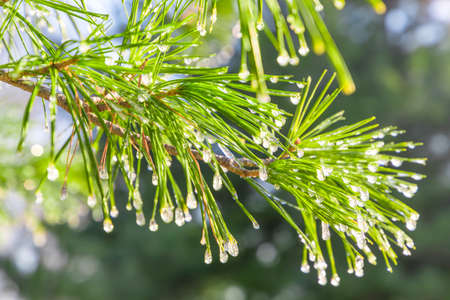 Water pine needles 版權商用圖片