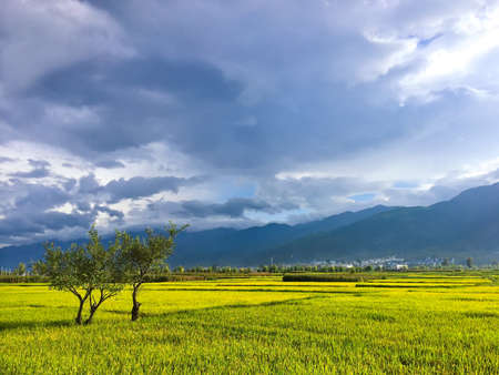 The scenery of rice fields in Erhai, Yunnan 版權商用圖片