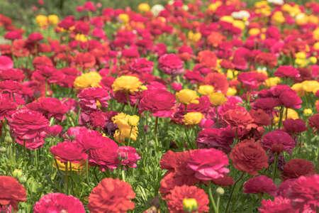 ed flower Stock Photo