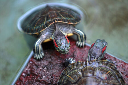 stock breeding: A pair of turtles that are kept water reservoirs in Ponorogo, East Java, Indonesia