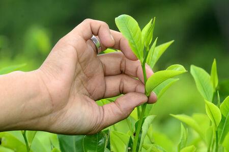 Tea picking hand in Wonokerto Plantation, Lumajang, East Java, Indonesia. Stock Photo