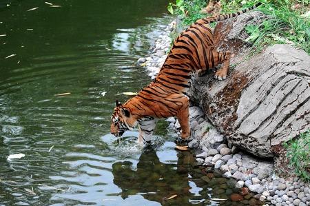 jungle animals: Dos tigres en el lago en el Parque Safari en Pasuruan, Java Oriental, Indonesia.