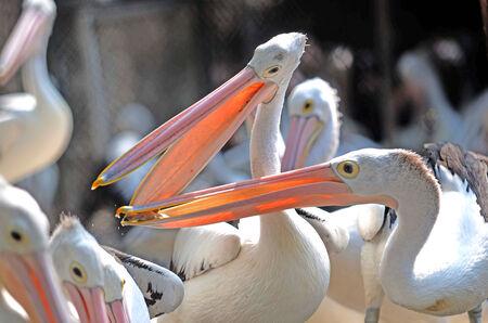 pelikan: Pelicans fighting over food in the zoo Surabaya, East Java, Indonesia