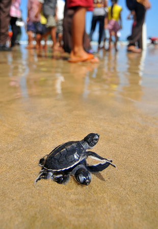 Traveler release turtle into the sea at a beach Merah Banyuwangi, East Java, Indonesia. Stock Photo