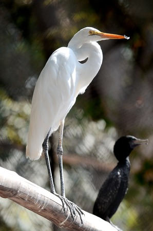 Egret bird in close up in Surabaya zoo, East Java, Indonesia.