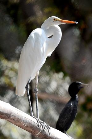 egret: Egret bird in close up in Surabaya zoo, East Java, Indonesia.