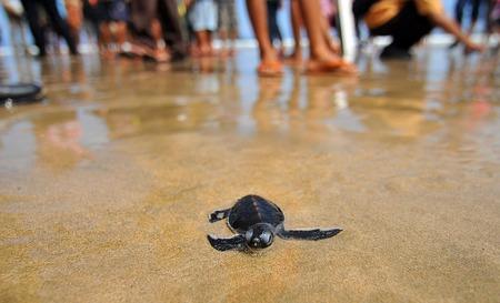 merah: Traveler release turtle into the sea at a beach Merah Banyuwangi, East Java, Indonesia. Stock Photo