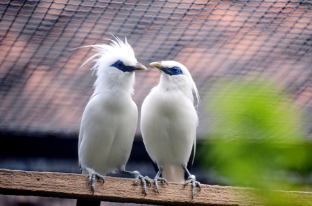 Bali Starling Bintanag Suarabaya Gardens collection. Bali starling bird\