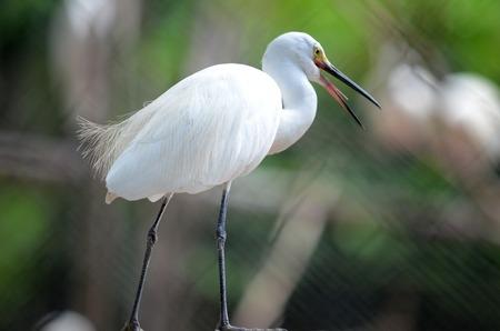 Egret bird in close up in Surabaya zoo, East Java, Indonesia 版權商用圖片